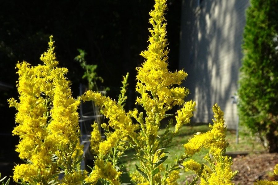 Forgotten and Found: Goldenrod