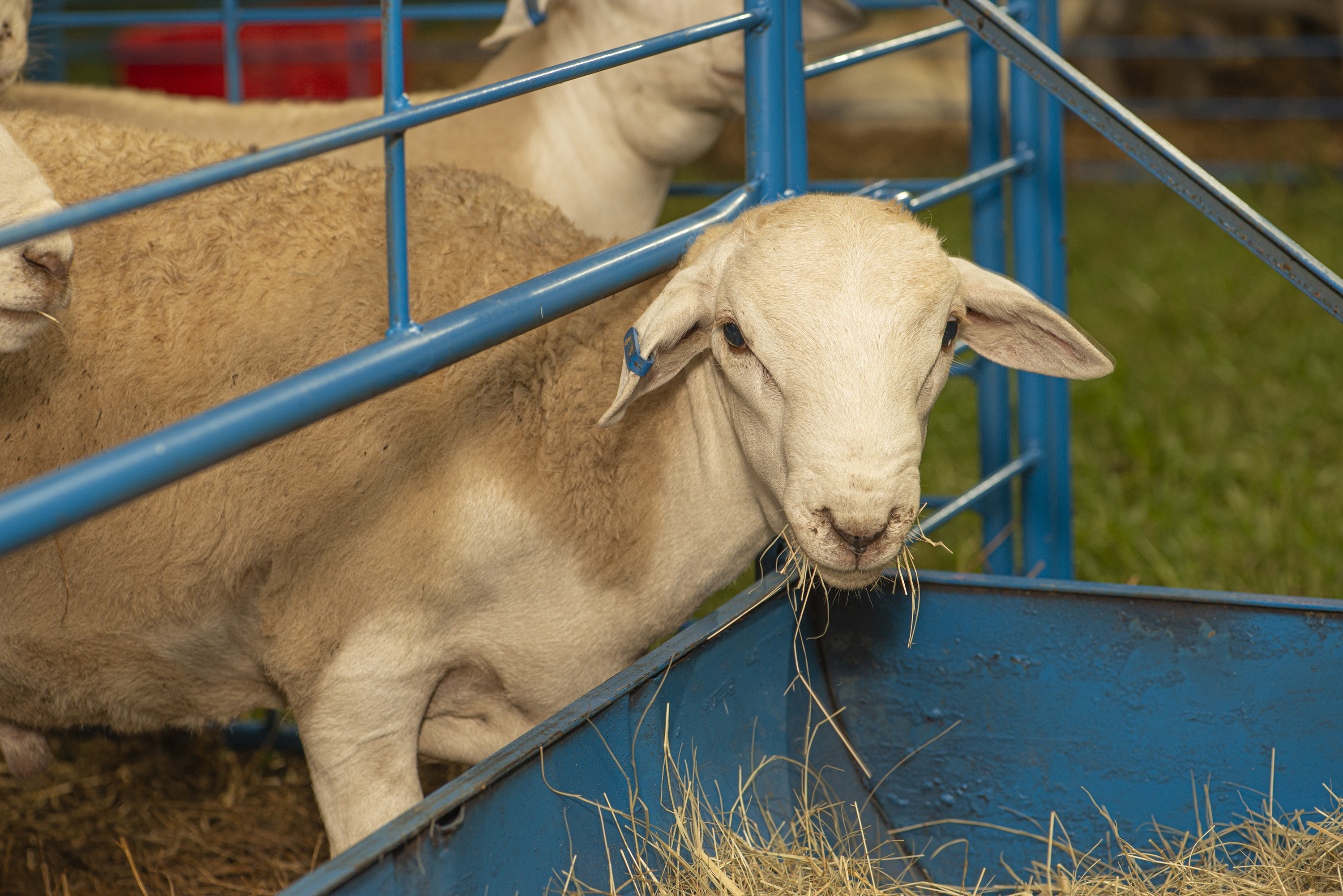 Alabama farmer introduces Australian White sheep to farmers from all over the world